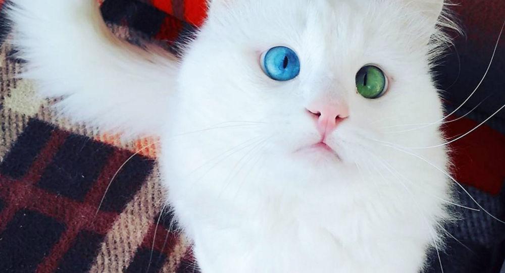 Śnieżnobiały kot rasy turecki van o imieniu Alos