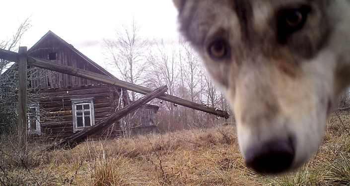 Wilk przy opuszczonym domu w opuszczonej wiosce Orewiczy