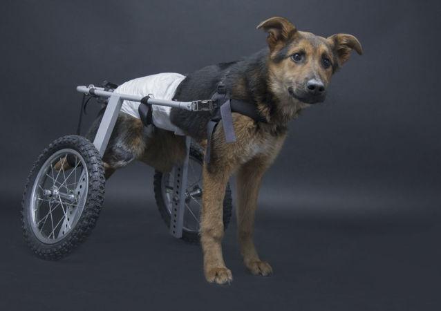 Pies inwalida o imieniu Szans