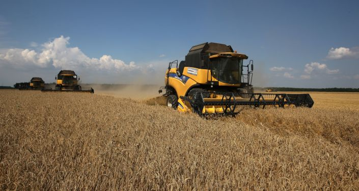 Żniwa pszenicy na południu Rosji