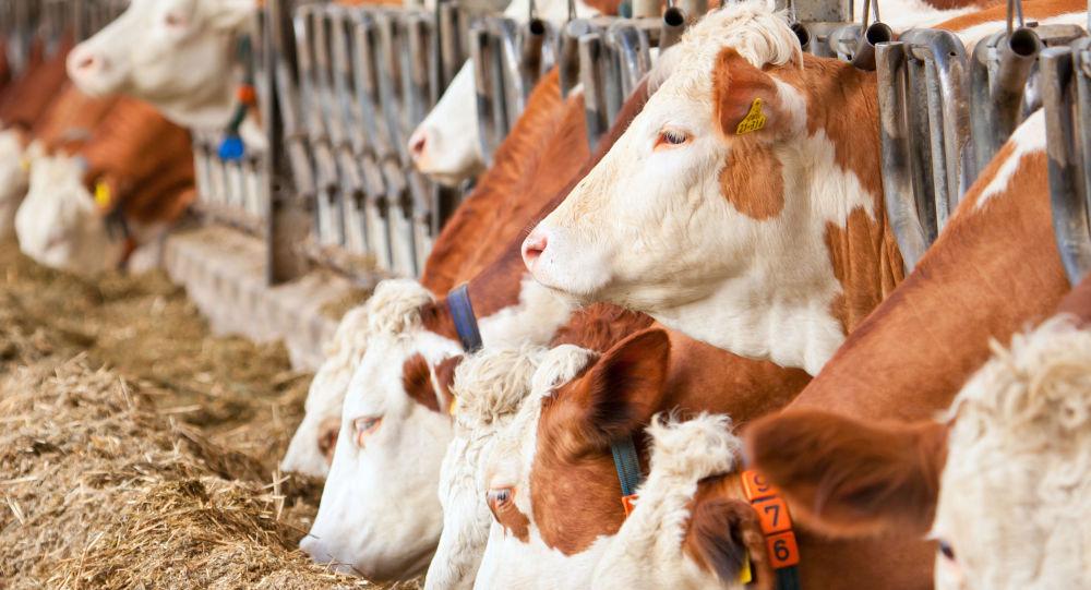 Krowy w stajni