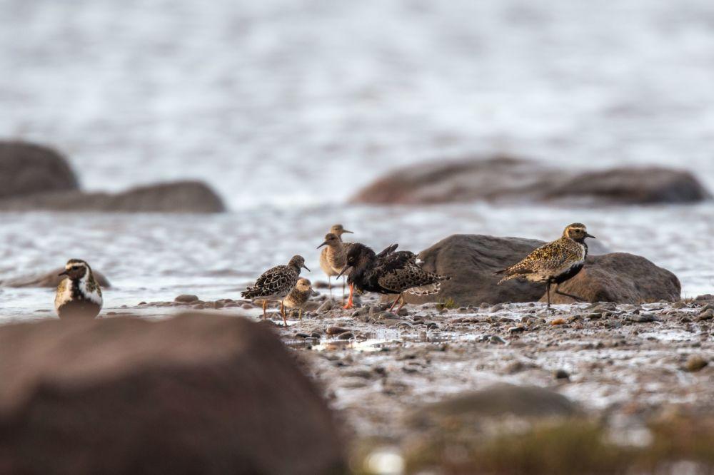 Bataliony: samiec w tańcu godowym, w otoczeniu samic, i siewki złote na wybrzeżu Morza Białego w białomorskim rejonie Republiki Karelii.