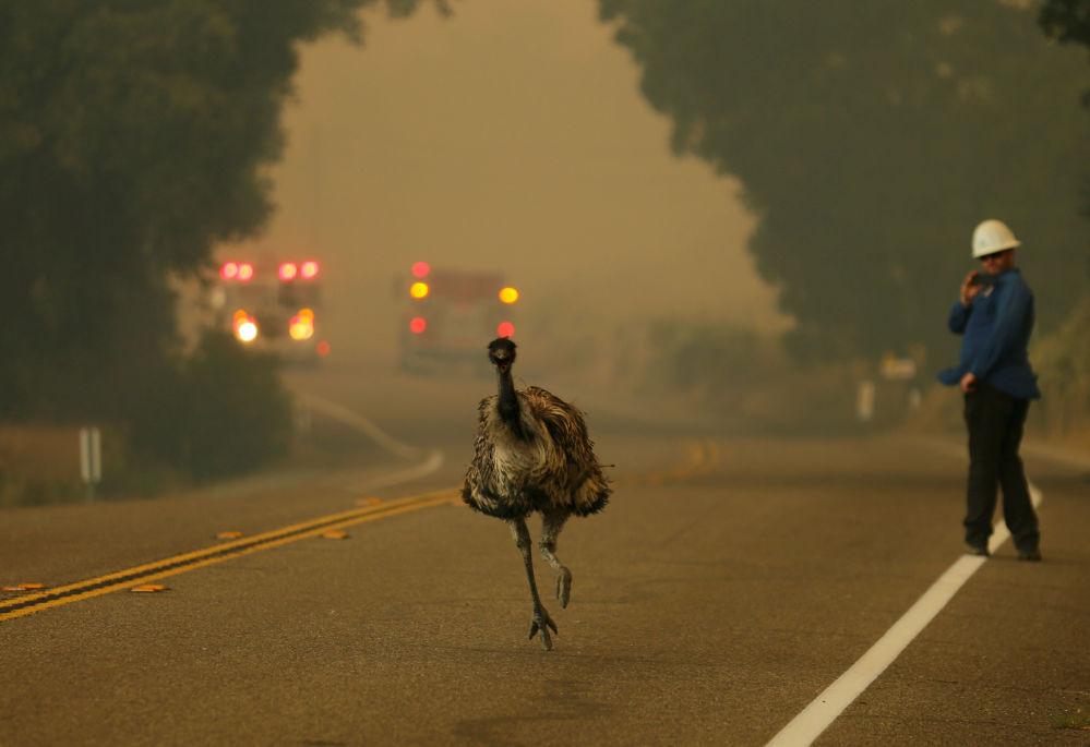 Struś ucieka ze strefy pożarów leśnych w Kalifornii, USA