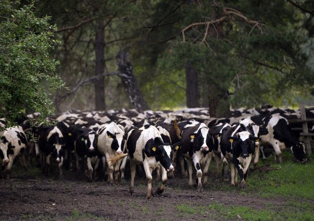 Stado krów w obwodzie nowosybirskim