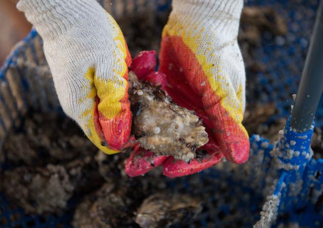 Ostrygi wyłowione na farmie ostrygowej Kurszawel w Soczi