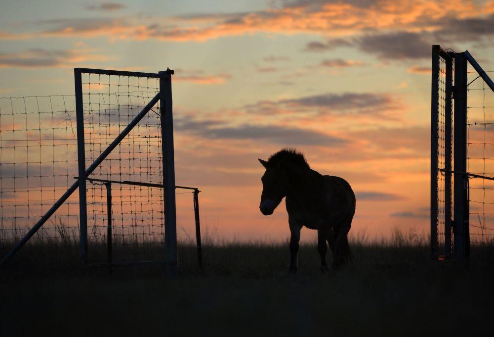 Wypuszczenie sześciu koni Przewalskiego z zagrody aklimatyzacyjnej w Centrum Reintrodukcji Koni Przewalskiego na teren rezerwatu