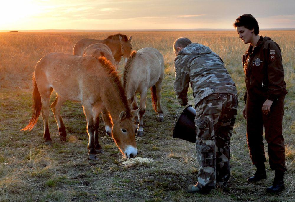 Rosyjski prezydent karmi konie, wypuszczone z z zagrody aklimatyzacyjnej w Centrum Reintrodukcji Koni Przewalskiego na teren rezerwatu
