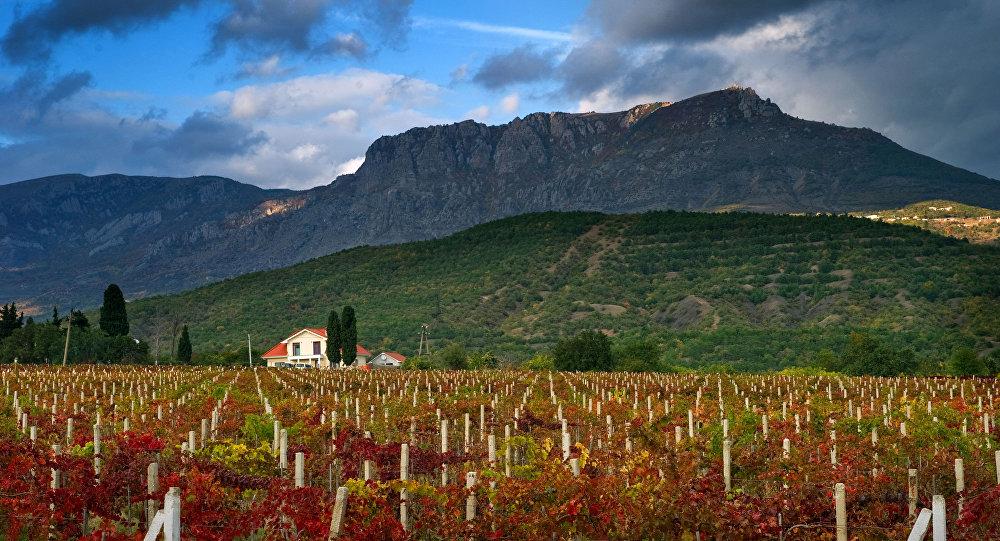 Plantacja winogron na Krymie