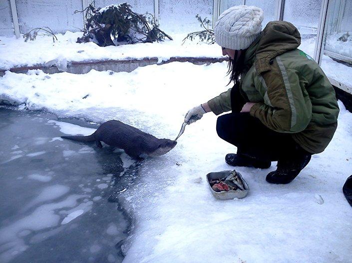 Moja praca - karmienie wydry o imieniu Liosza w petersburskim zoo.