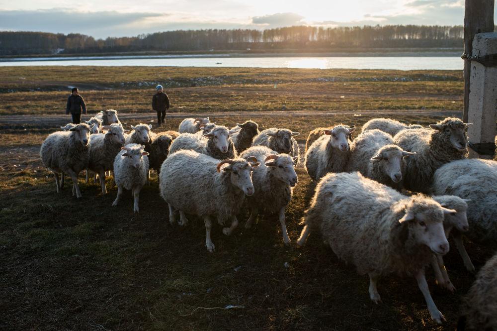 Stado owiec na podwórzu Kołdyszewów we wsi Sibiliakowo