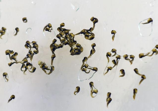 Larwy Aedes aegypti w laboratorium naukowym w Rio, Brazylia