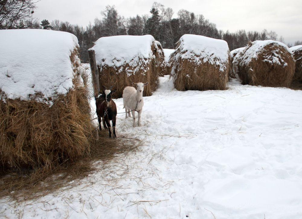 Kozy i zaśnieżone stogi siana we wsi Bieriozowka w obwodzie tomskim