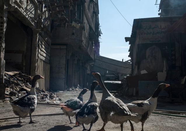 Gęsi w zburzonym rejonie Jarmuk w Damaszku