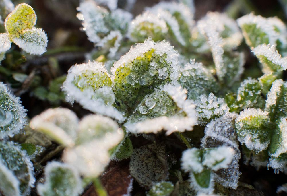 Rośliny pokryte szronem
