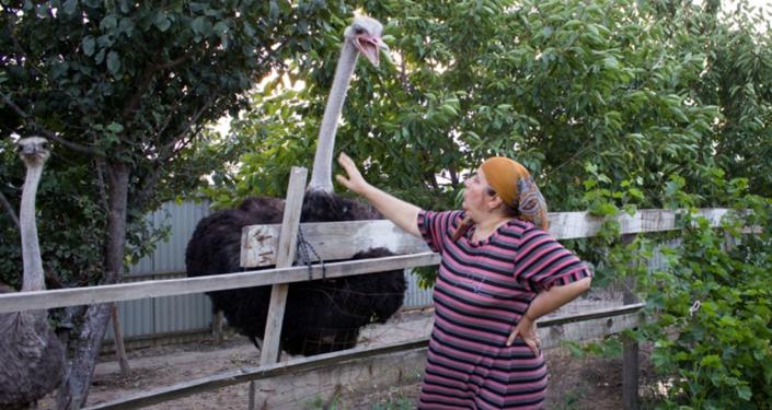 Mieszkanka dagestańskiej wsi Karabudachkent w obwodzie karabudachkentskim już ładnych kilka lat zajmuje się hodowlą strusi afrykańskich.