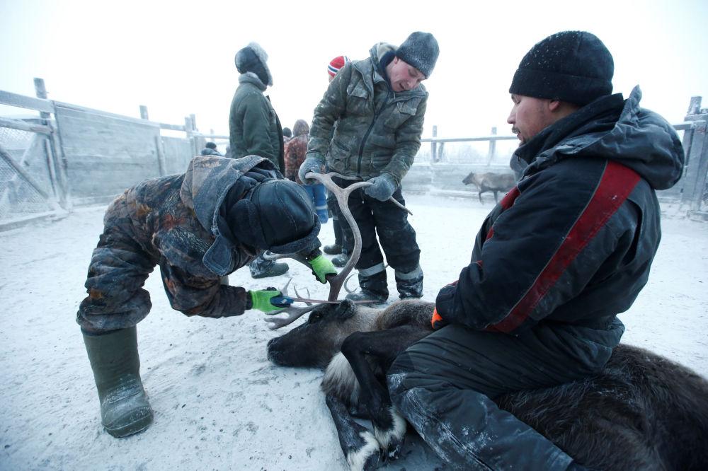 Pasterze przycinają rogi reniferowi we wsi Krasnoje w Nienieckim Okręgu Autonomicznym