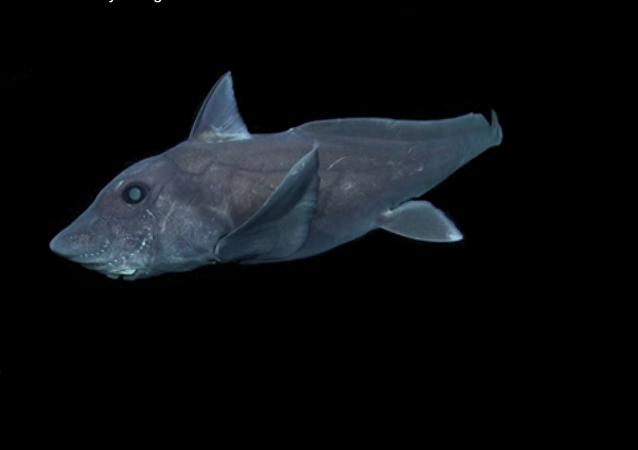 Pierwsze nagranie rzadkiego gatunku rekina-widma