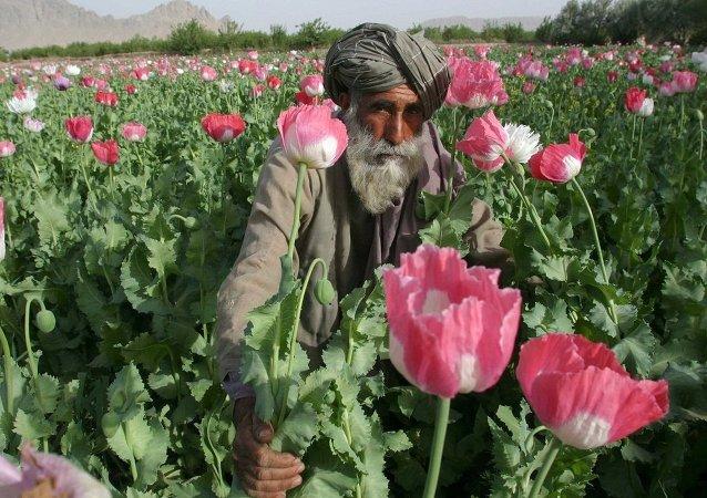 Opium, Afganistan