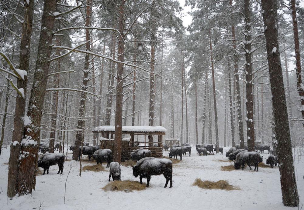 Park Narodowy Orłowskie Polesie został założony w 1994 roku w celu zachowania unikalnej tajgi południowo-rosyjskiej. Na terytorium rezerwatu występuje ponad 270 gatunków zwierząt, z których 89 jest wpisanych do czerwonej księgi.