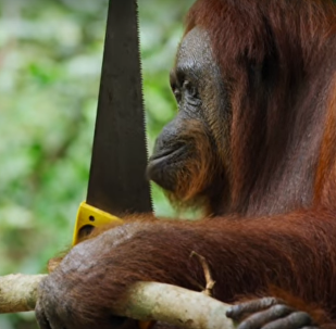 Orangutan drwal