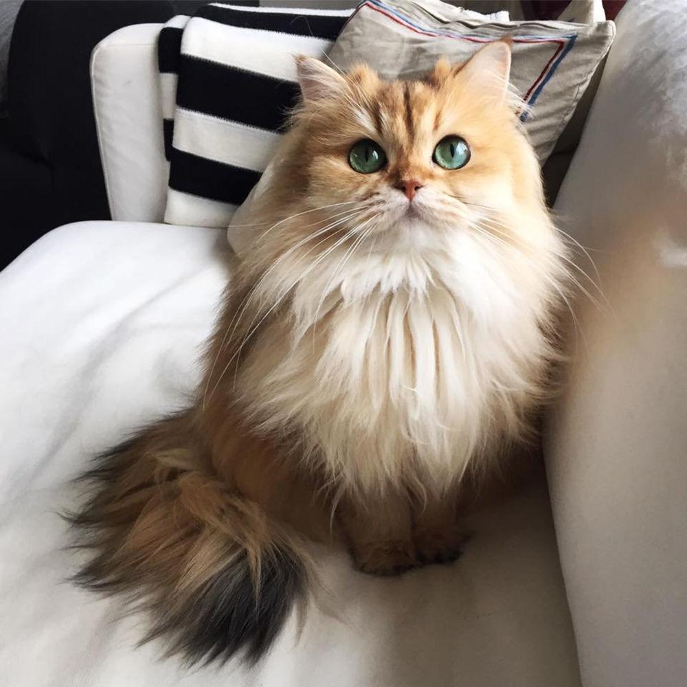 Brytyjska długowłosa kotka Smoothie jest uważana za najbardziej fotogeniczną kotkę na świecie. Jak każda gwiazda internetowa ma własne konto w Instagramie i ponad 850 tys. followersów.