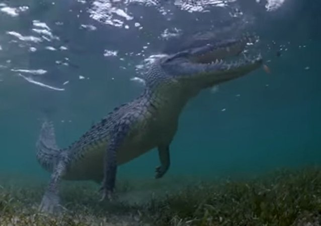 Turyści nagrali, jak pływają z ogromnymi krokodylami