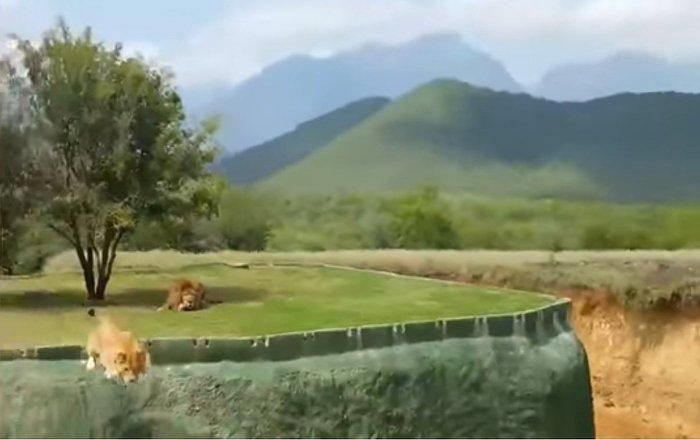 Niezdarna lwica rozbawiła turystów