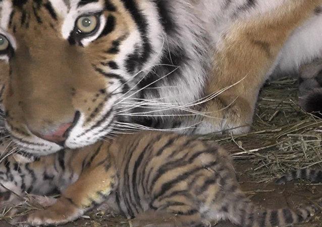 Tygrysica Frosja w krymskim parku safari