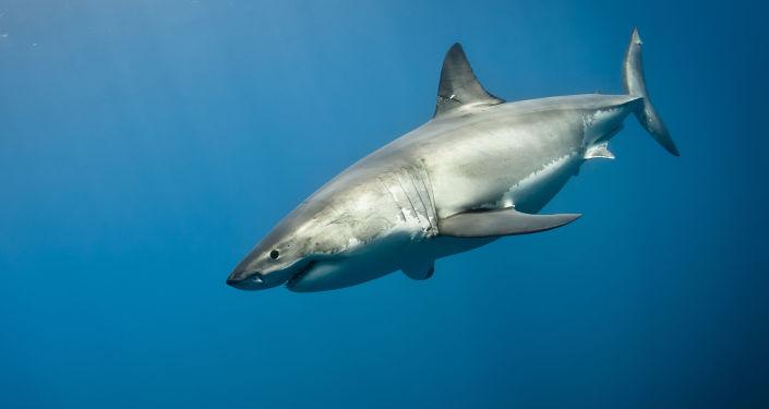 Rekin żarłacz biały