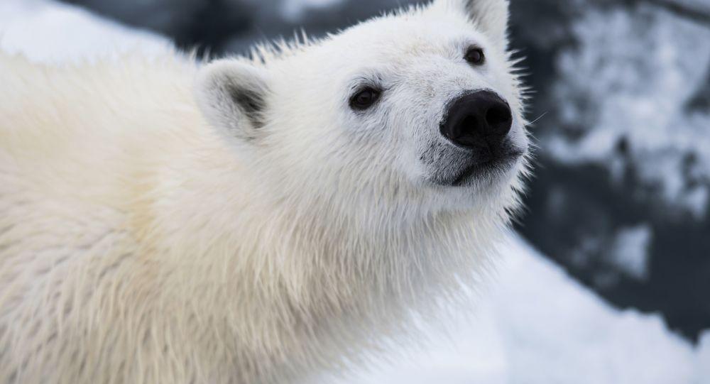 Biały niedźwiedź może przetrwać mróz poniżej minus 80 stopni. Gruba warstwa podskórnego tłuszczu i wodoodporna sierść pozwalają białym niedźwiedziom na pływanie w lodowatej wodzie i przez dłuższy czas odpoczywanie w śniegu.