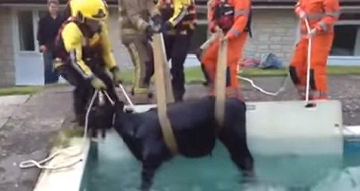 W Anglii ratownicy musieli wyciągać krowę z basenu