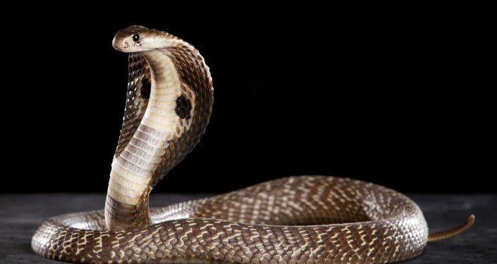 W USA wąż połknął innego węża