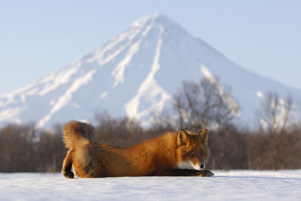 Zamieszkujące Kamczatkę lisy różnią się od swoich pobratymców kolorem futra i rozmiarem.