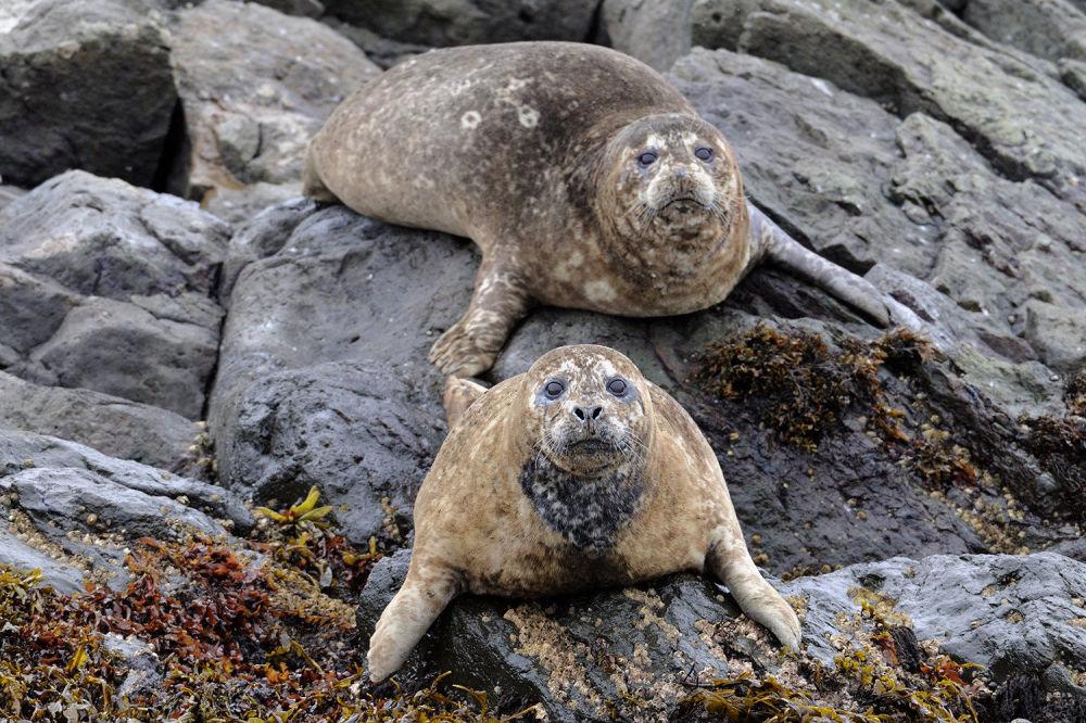 Wpisany do Czerwonej Księgi antur jest jednym z największych podgatunków fok.