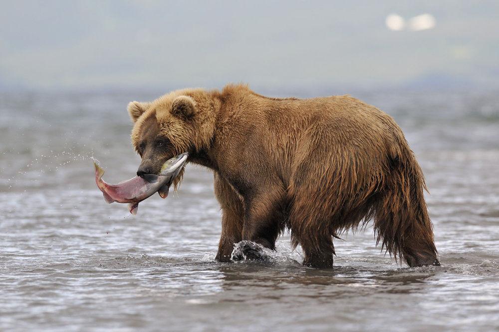 Ze specjalnej wieży widokowej nad jeziorem goście Kronockiego Rezerwatu Biosfery mogą obserwować niedźwiedzie łowiące ryby.