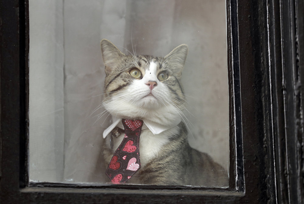 Piękna kotka w ambasadzie Ekwadoru w Londynie