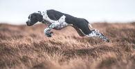 Zwycięzcą konkursu w kategorii Psy w pracy została fotograf z Wielkiej Brytanii Sarah Caldecott, autorka zdjęcia W ruchu.