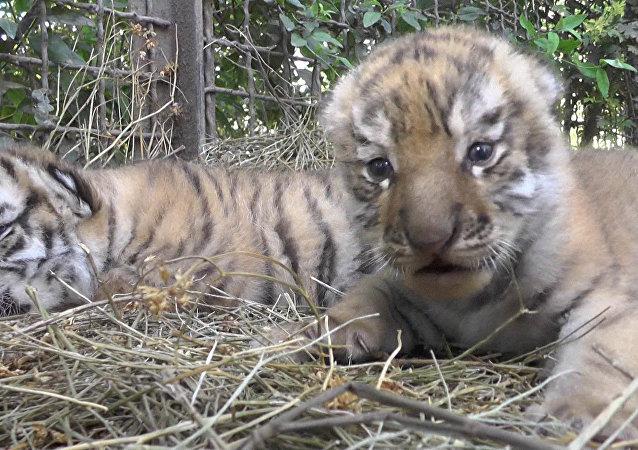Tygrysy amurskie na Krymie