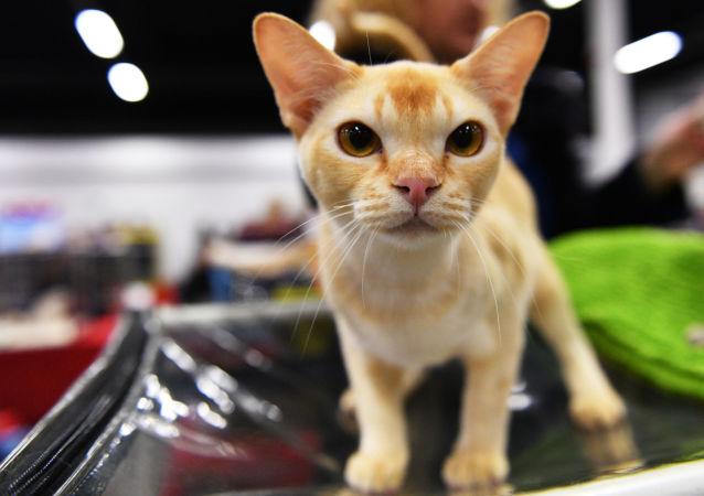 Kot rasy Burmilla na wystawie Zimowy Puchar Kot-Info w Moskwie