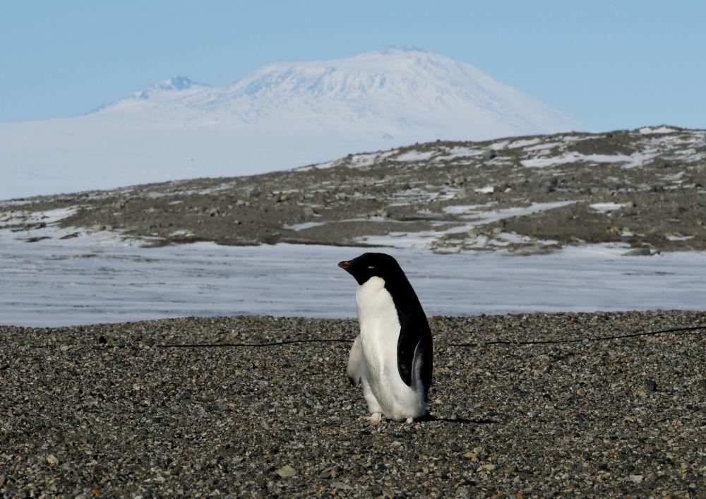 Pingwin Adeli w pobliżu stacji badawczej na Antarktydzie New Harbor