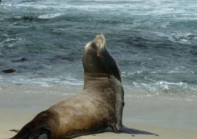 Lew morski na brzegu oceanu