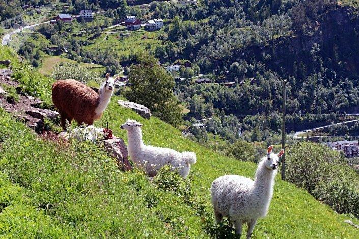 Lamy w Alpach