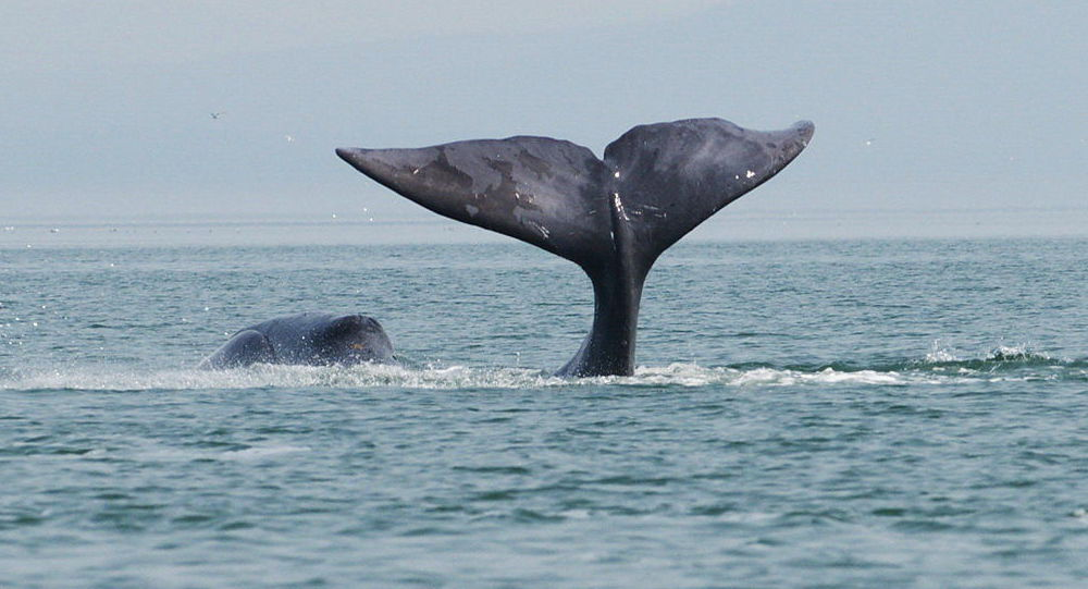 Wal grenlandzki