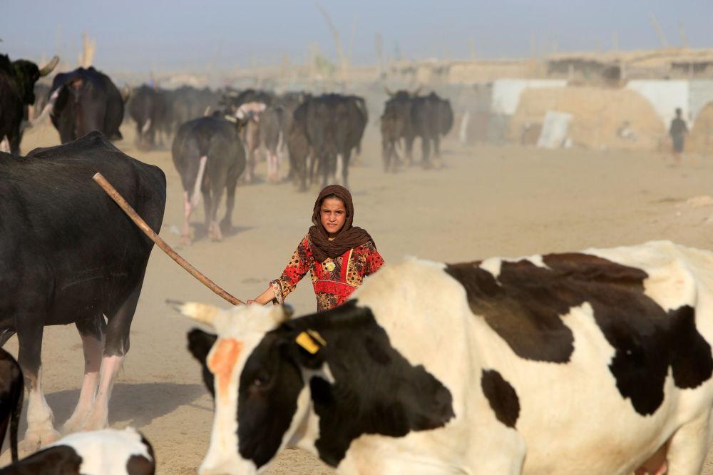 Dziewczynka zagania bydło w pobliżu rzeki Eufrat w irackim mieście An-Nadżaf