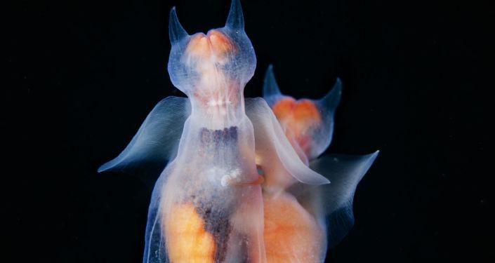"""Zdjęcie """"Miłość aniołów"""" fotografa Andrieja Narczuka. Te małe morskie ślimaki żyją w zimnych wodach północnej części Oceanu Spokojnego i Atlantyckiego. Morskie anioły są mięczakami. Zrzucają swoje skorupy w miarę wzrostu."""
