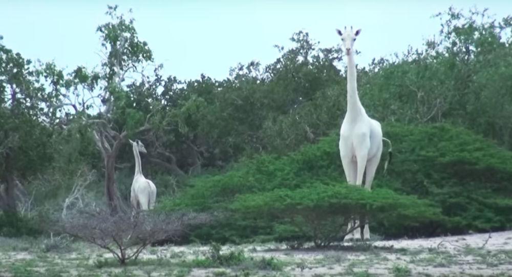 Białe żyrafy