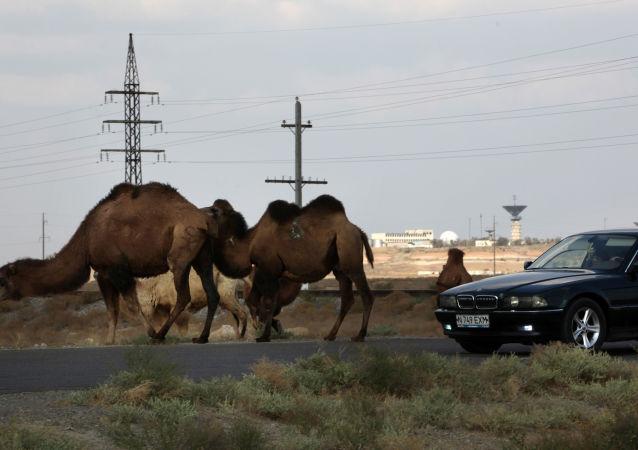 Wielbłąd obok trasy samochodowej