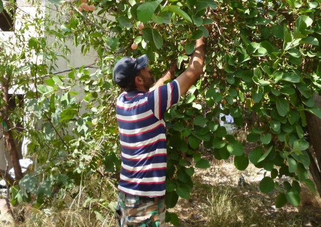 Syryjczyk Muhannad Maalan zbiera owoce śliwy asyryjskiej w swoim ogrodzie w Latakii