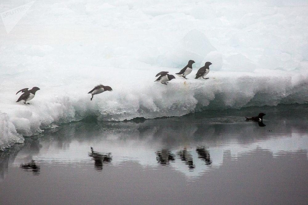 Alczyki na krze przy brzegu jednej z wysp wchodzącej w skład archipelagu Ziemia Franciszka Józefa.