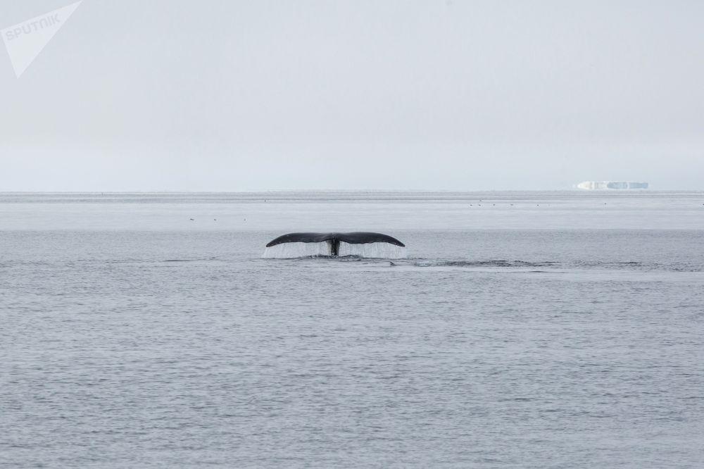 Wieloryb pływający niedaleko wyspy Matylda archipelagu Ziemia Franciszka Józefa.